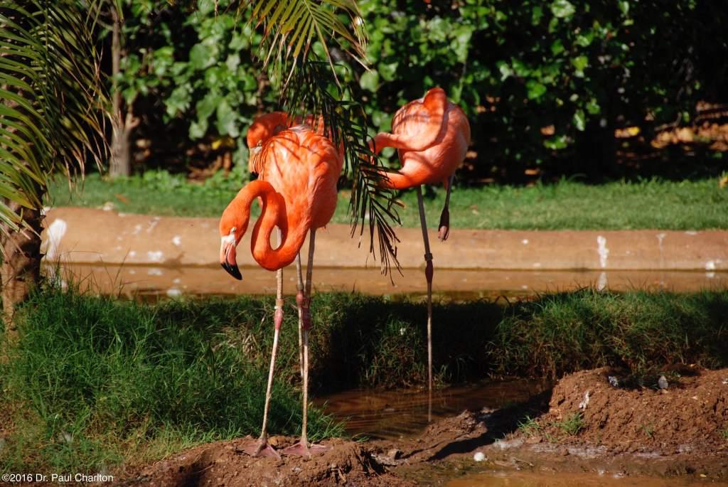 Flamingos Hawaii Zoo